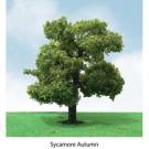 """Pro-Elite Tree, Sycamore 3.5-4"""" (2)"""